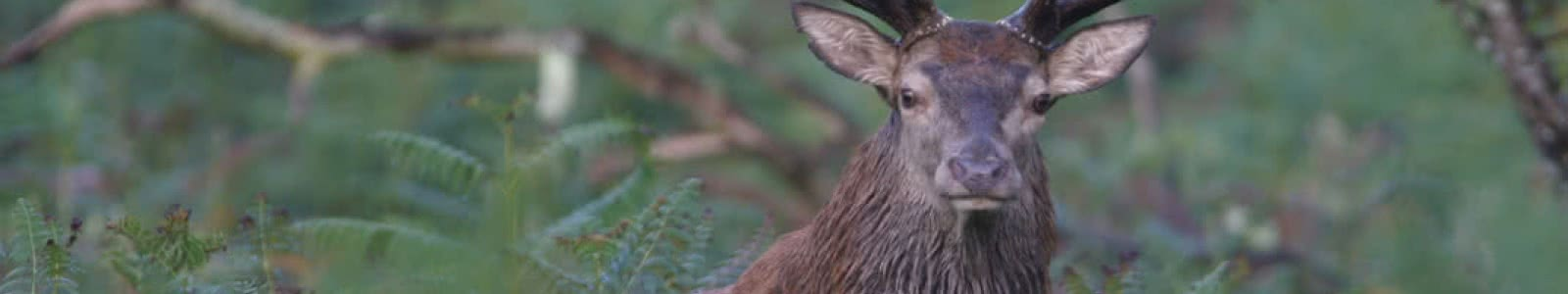 Cerf dans une forêt de Sologne - Maison du Cerf de Villeny - Expérience nature en famille ou entre amis en Loir-et-Cher Val de Loire ©M-Gengembre - La Maison du Cerf - Sologne
