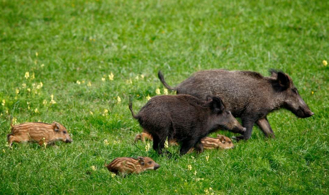 Sangliers dans le domaine de Chambord ©Ludovic Letot