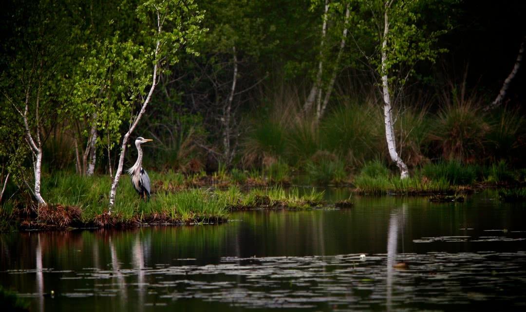 Héron cendré sur un étang de Sologne au coeur du domaine de Chambord ©Ludovic Letot
