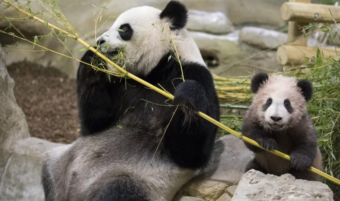 Zoo de Beauval - ©Première sortie de Yuan Meng - mini yuan