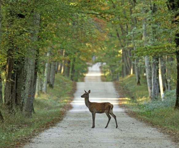 Chevreuil dans une allée de forêt en Sologne ©P. Bousseaud - CRT Centre-Val de Loire