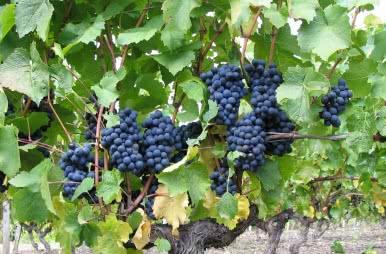 Vacances en Loir-et-Cher - Val de Loire - Vignobles et dégustations - Grappe de Raisin©ADT41