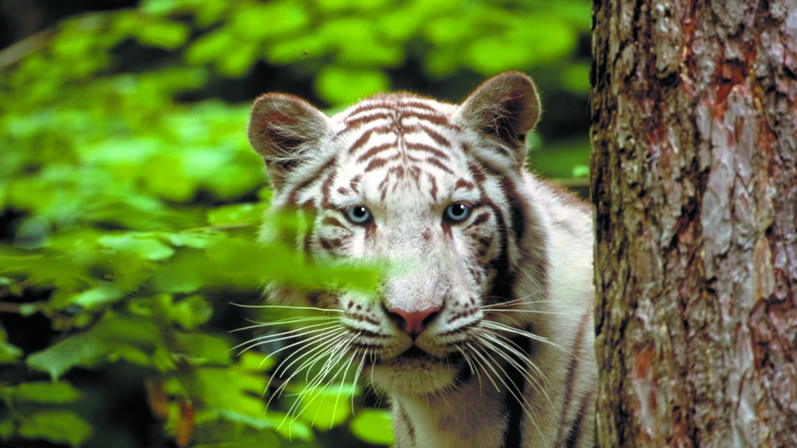 Tigre blanc ©ZooParc de Beauval