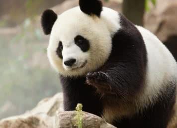 Zoo de Beauval - Pandas - Vacances en famille en Loir-et-Cher Val de Loire ©Zooparc de Beauval