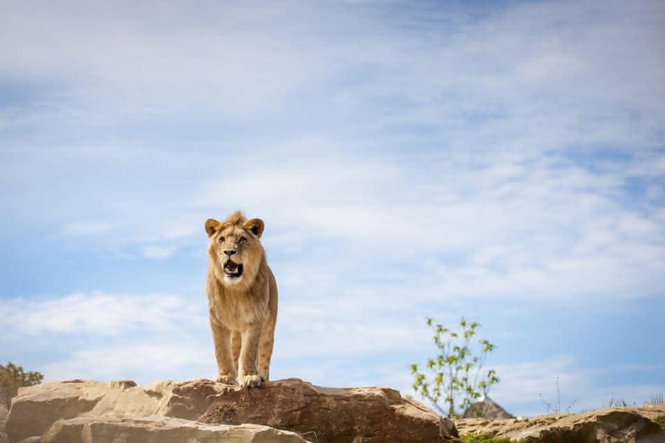 Zooparc de Beauval- La Terre des Lions ©Cyril Chigot - Conseil départemental 41