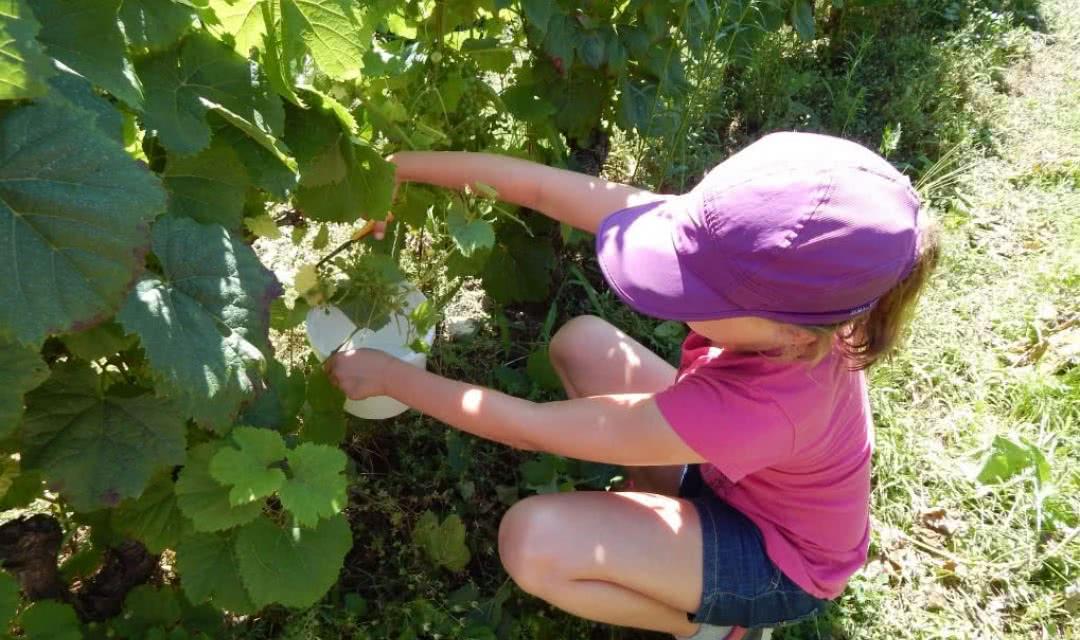 Les ateliers famille du Domaine du Vieil Orme - Cueillette du raisin sur la vigne ©MaryseF-TripAdvisor