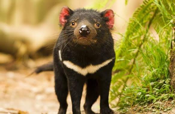 Nouveauté 2019 - Diables de Tasmanie au zoo de Beauval - Vacances en famille en Loir-et-Cher Val de Loire ©ZooParc de Beauval