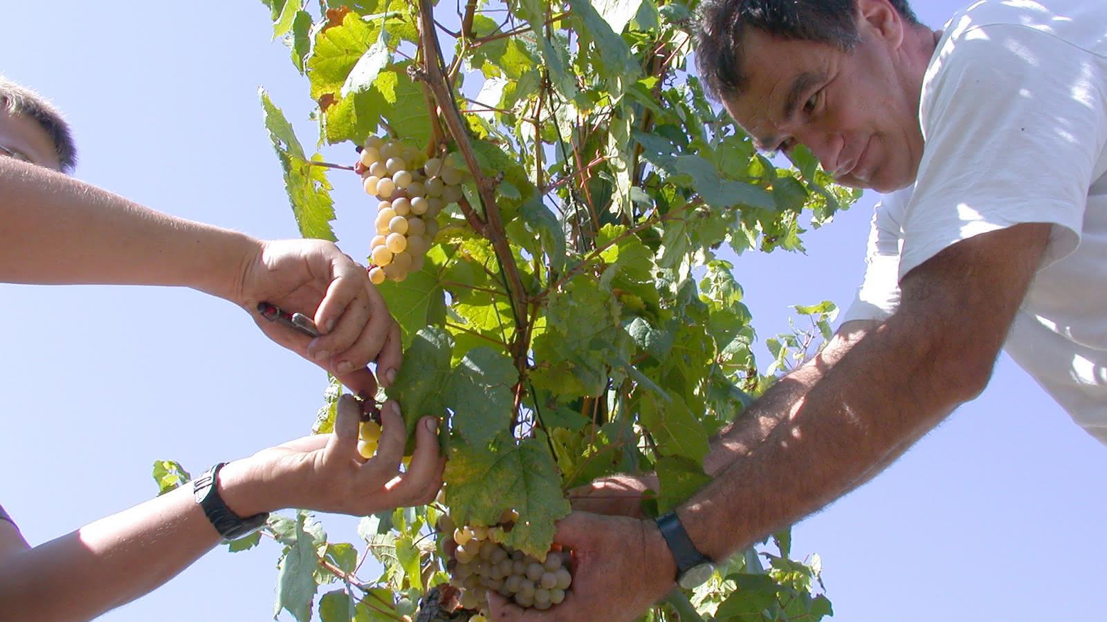 Producteurs de l'AOC Cour-Cheverny - Cépage Romorantin ©Domaine des Huards
