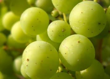 Grappe de raisin cépage Romorantin - 20 bonnes raisons de visiter le Loir-et-Cher en 2020 ©Cécile Marino - ADT41