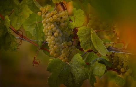 Les vignes du cépage Romorantin plantées à Chambord en Loir-et-Cher Val de Loire ©Léonard de Serre