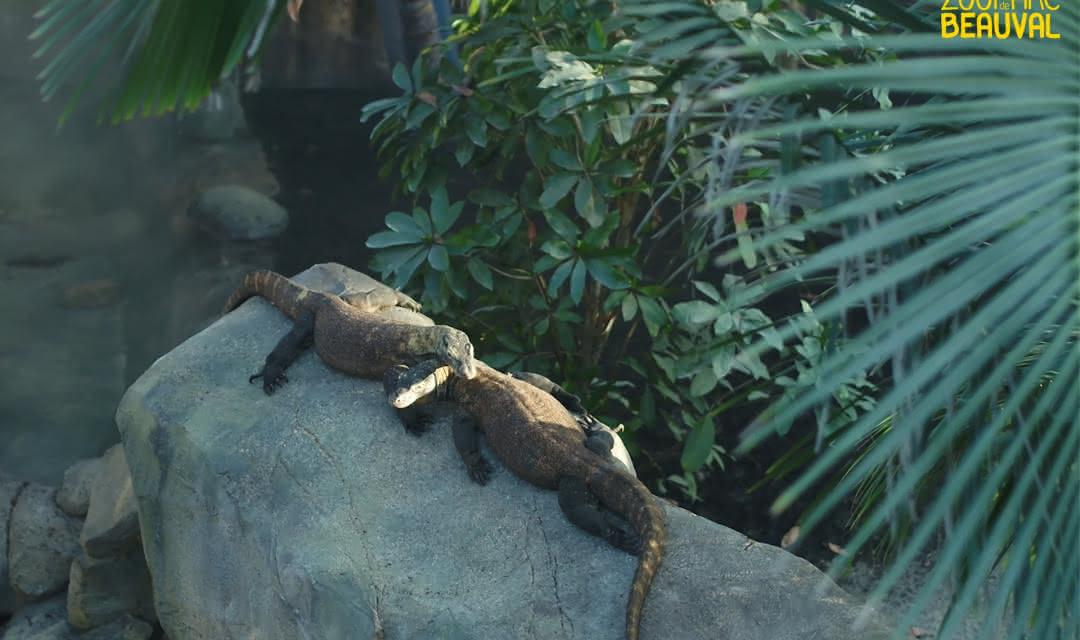 Des dragons en Loir-et-Cher - Les dragons de Komodo du ZooParc de Beauval ©ZooParc de Beauval
