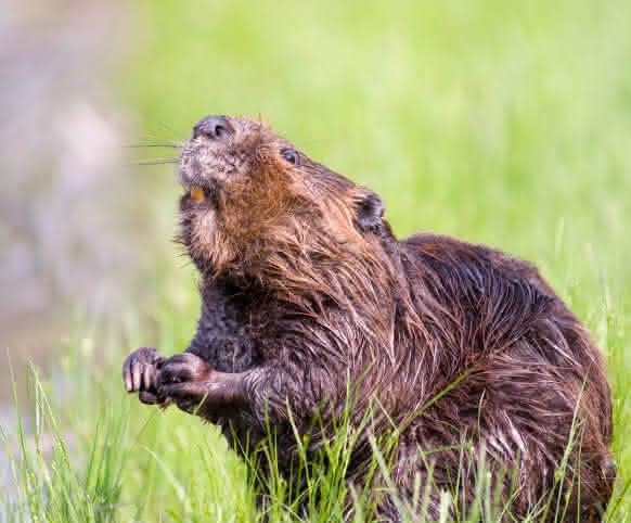Sorties découverte du castor avec la Maison de la Loire de Loir-et-Cher - Vacances nature en Val de Loire ©Image par Steve Raubenstine de Pixabay