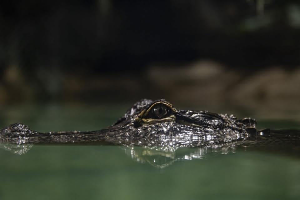 ZooParc de Beauval - Dome équatorial - Crocodile ©ZooParc de Beauval