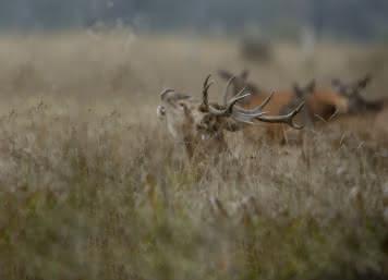 Brame du cerf en Sologne - Emotion nature en Val de Loire ©Alexandre Roubalay - acadiaudimages.fr
