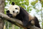 (259)panda-geant©ZooParc-de-Beauval-2013