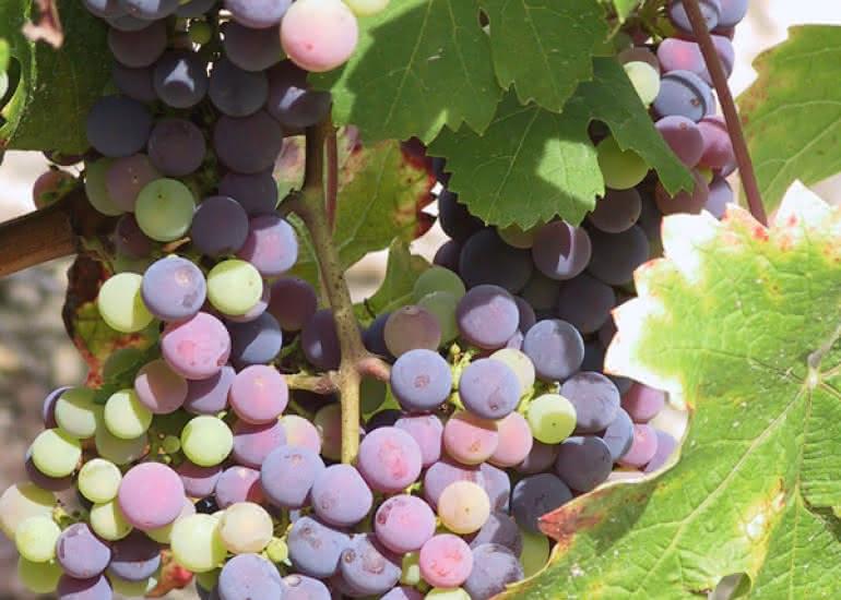(5)grappe-raisin©CDT41