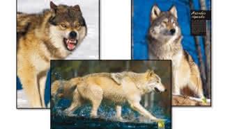Exposition «le loup»