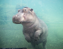 Hippo-ZooParc-de-Beauval