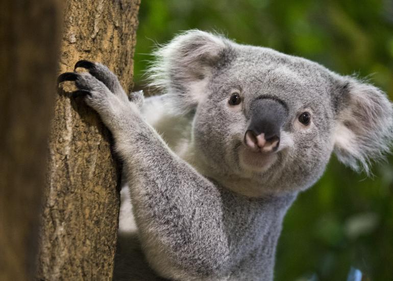 Koala-ZooParc-de-Beauval
