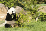 Panda-Beauval