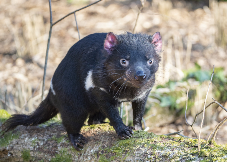 Diables-de-Tasmanie-Beauval