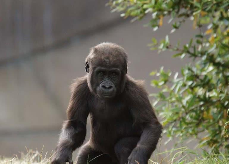 Bébé_Gorille_ZooParc_de_Beauval