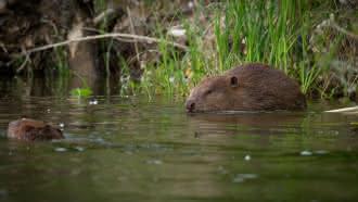 Sortie à la découverte du castor avec la Maison de la Loire