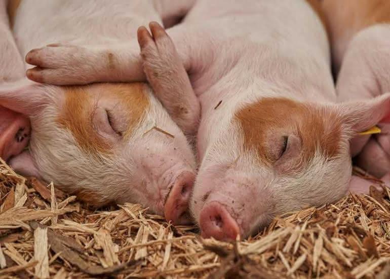ferme-agriculture-comice-cochon-pixabay