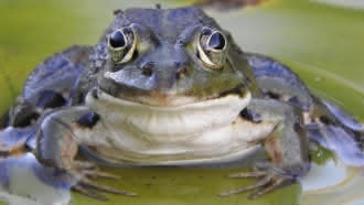 Fréquence grenouille avec Perche Nature
