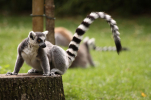 hd_Maki-catta_ZooParc_de_Beauval