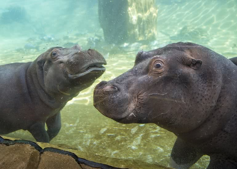 hippopotames_zooparc_de_beauval_15