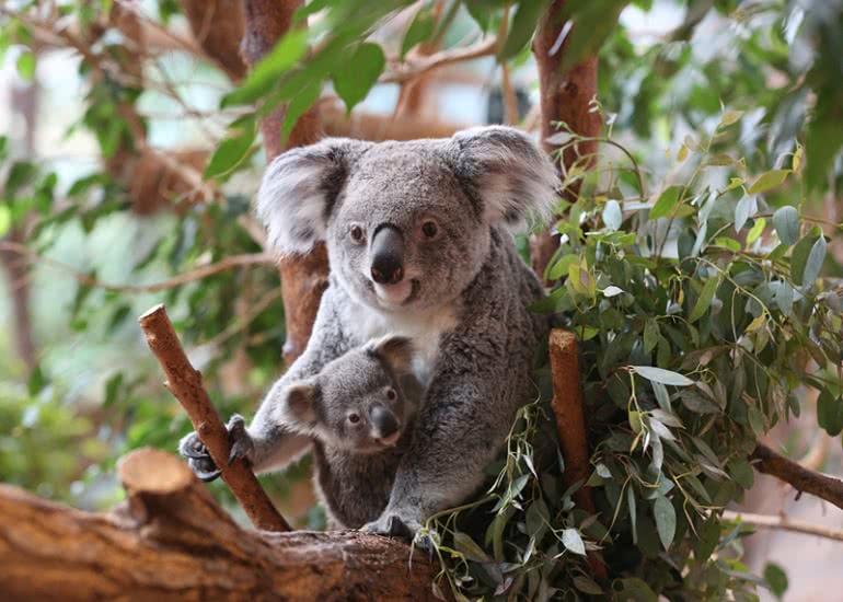 Koalas_(c)ZooParc-de-Beauval