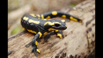 Sortie nature -Salamandres et dragons d'eau à Pruniers en Sologne
