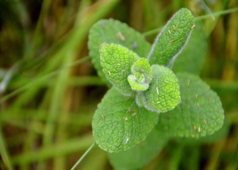degustation-ligerienne-menthe-plante-comestible-pixabay