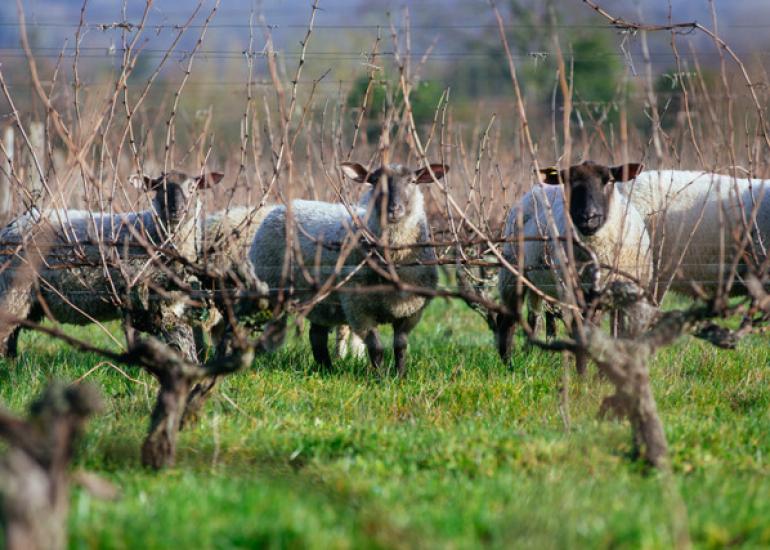 Les moutons du Clos Roussely