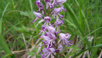 Sortie nature – Beautés colorées les orchidées sauvages à Chatillon-sur-Cher