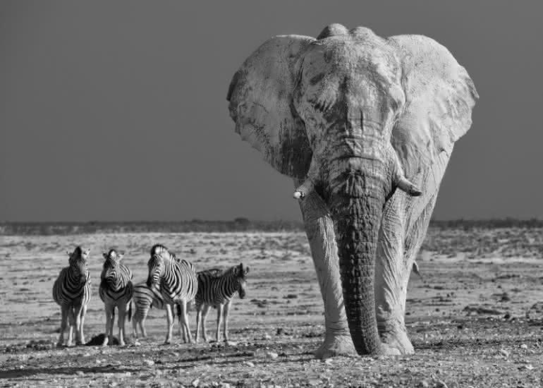 ELEPHANT ET ZEBRES