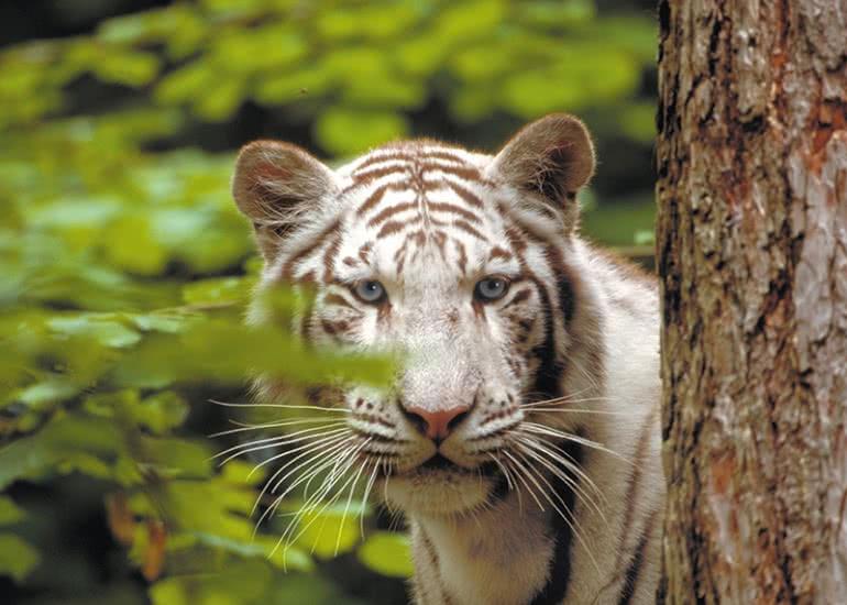 Tigre-blanc_(c)ZooParc-de-Beauval