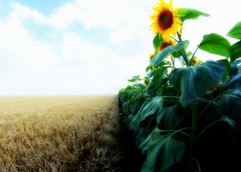 TOURNESOL dans la récolte