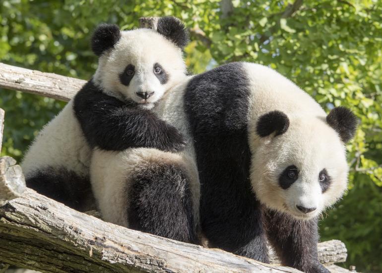 Yuan-Meng---Huan-Huan-2---ZooParc-de-Beauval--2-